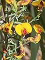 Eutaxila microphylla image.jpg