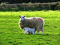 Ewe and lamb, Dunover - geograph.org.uk - 703038.jpg