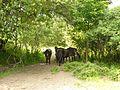 Exmoor-Pferde-Auerbach.JPG