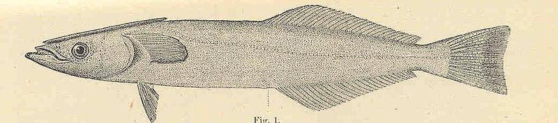 File:FMIB 35183 Sword-Fish Remora, Remoropsis brachypterus.jpeg