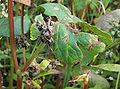 Fagopyrum esculentum fruits, Boekweit dopvruchten.jpg
