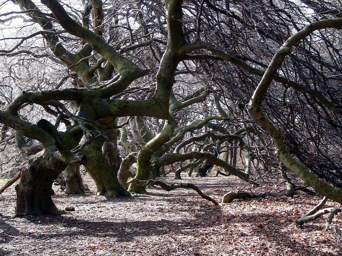 H tre tortillard wikip dia - Comment s appelle l arbre du kaki ...