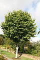 Fagus grandifolia 12zz.jpg