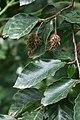 Fagus sylvatica orientalis 3.jpg