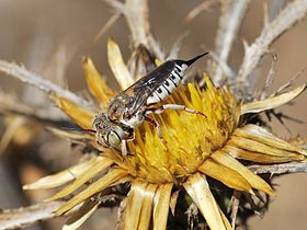Female Coelioxys on Carlina curetum 1.JPG