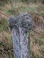 Fence post with antler moss, Middle Hill. - geograph.org.uk - 261561.jpg