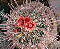 Ferocactus peninsulae HabitusFlowers Bln0906a.jpg
