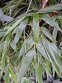 Feuillage de bambou bamboo leaf VAN DEN HENDE ALAIN CC BY SA 40 06 BG PDP -1445103371ozR.jpg