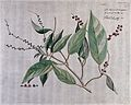 Fever bark (a species of Croton); branch with flowers and fr Wellcome V0042631.jpg