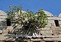 Ficus drupacea (Mysore Fig) in Bhongir fort, AP W IMG 2955.jpg