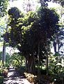 Ficus rubiginosa 02.jpg