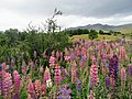 Field of Lupins Lago Azul Trail Torres Del Paine National Park Chile.jpg