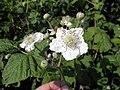 Fiori di mora da rovo (Rubus ulmifolius) sull'argine dell'Adige a Boara Polesine, Rovigo 01.jpg