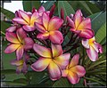 First of April 2018 and the Frangipani battles on-1 (41143223081).jpg