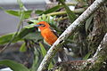 Flame-colored Tanager (Piranga bidentata) (5771966551).jpg