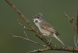 Flickr - Rainbirder - Common Whitethroat (Sylvia communis).jpg