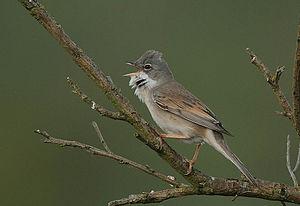 A singing bird in scrub. Image taken near Culr...