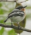 Flickr - Rainbirder - Pale Batis (Batis soror).jpg