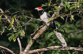 Flickr - Rainbirder - Red-faced Malkoha (Phaenicophaeus pyrrhocephalus) male.jpg