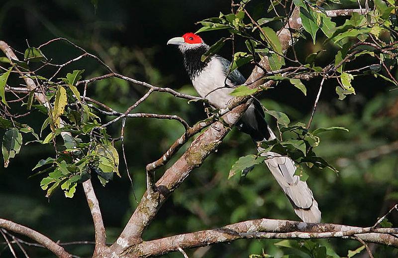 File:Flickr - Rainbirder - Red-faced Malkoha (Phaenicophaeus pyrrhocephalus) male.jpg