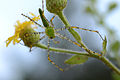 Flickr - ggallice - Green lynx spider.jpg