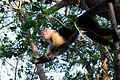 Flickr - ggallice - White fronted capuchin monkey.jpg