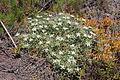 Flora della Sardegna 303 (1).JPG