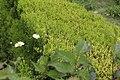 Flora of Pakistan 2018 - Hedge at Pearl Continental Bhurban (hotel), Murree tehsil.jpg