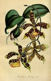 <i>Rossioglossum insleayi</i> species of plant