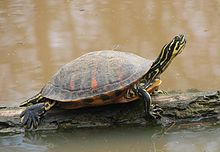 Florida Redbelly Turtle.jpg