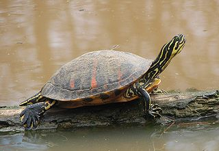 Redbelly Turtle