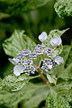 "Flower, Hydrangea ""Uzu-Ajisai""(Variegation) - Flickr - nekonomania.jpg"