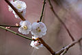 "Flower, Plum tree ""Omoi-no-Mama"" - Flickr - nekonomania (1).jpg"