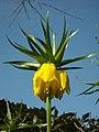 Flowers - (PL) Cesarska korona (17025100070).jpg