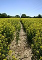 Footpath through oilseed rape - geograph.org.uk - 419744.jpg