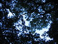 Forest canopy at Helderberg Nature reserve capetown.JPG