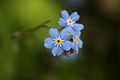 Forget-me-not2.jpg