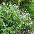 Forget-me-not 600.jpg