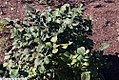 Fothergilla gardenii 8zz.jpg