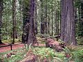 Founders Grove - Coast Redwood (Sequoia sempervirens) - Flickr - Jay Sturner.jpg