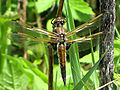 Four-spotted Skimmer.jpg