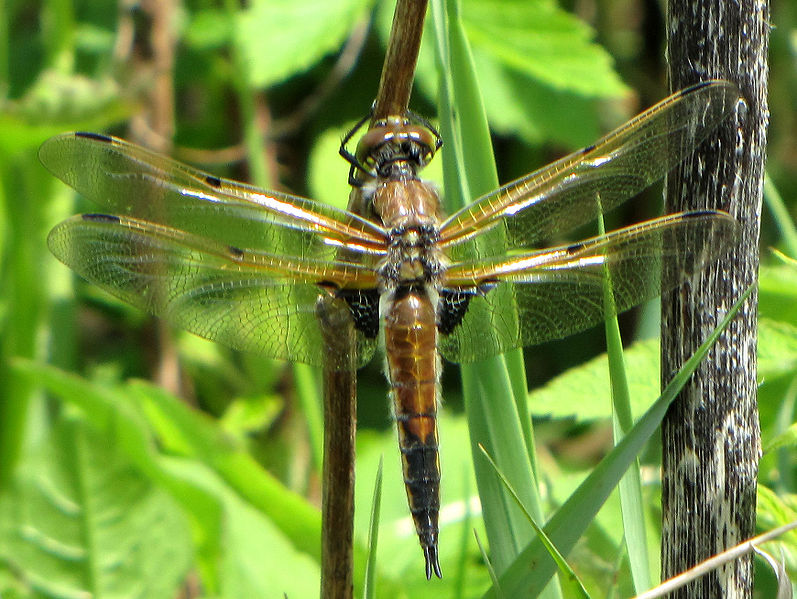 File:Four-spotted Skimmer.jpg