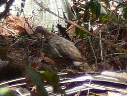 Francolinus bicalcaratus (cropped)