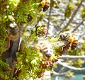 Fraxinus angustifolia, bloeiwyses en bye, b, Tweeling.jpg