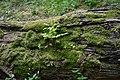 Fraxinus excelsior L. Frêne commun Bois de la citadelle Lill aout 2018 a 06.jpg