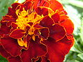 French marigold 1.jpg