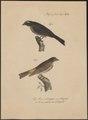 Fringilla tristriata - 1835 - Print - Iconographia Zoologica - Special Collections University of Amsterdam - UBA01 IZ16000061.tif