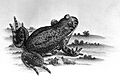 Frog from Roesel von Rosenhof; 1758 Wellcome L0001708.jpg