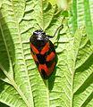 Froghopper. Cercopis vulnerata - Flickr - gailhampshire (6).jpg