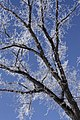 Frosted tree (2286644248).jpg